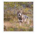 Ylning med vargar & övernattning för 2 personer i Skinnskatteberg